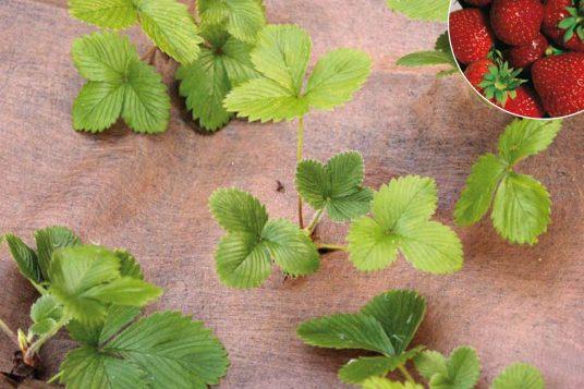 Plantex strawberry mulch fleece